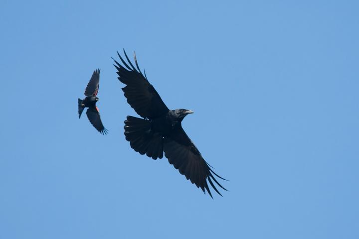 American Crow&blackbirda060211_72ppi