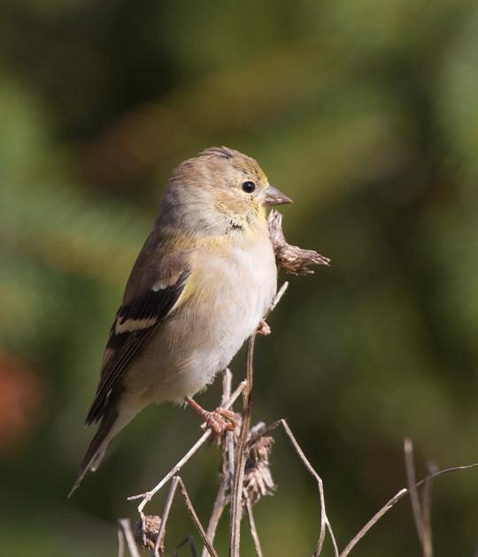 American Goldfincha103010_72ppi