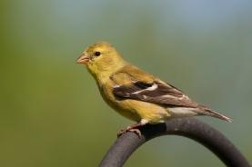 American GoldfinchSYMa051011_72ppi