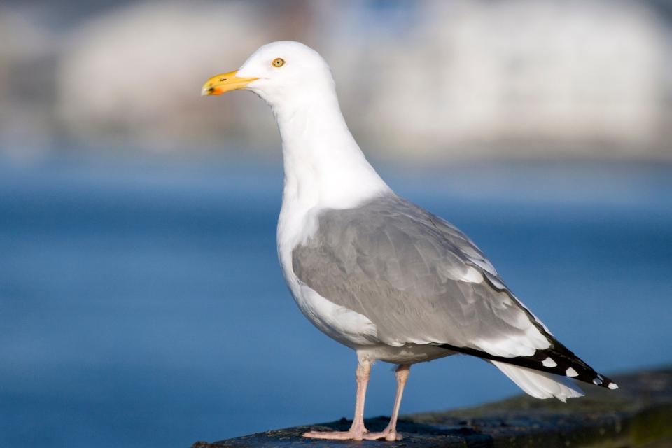 American Herring Gull_3368949840_4c8d616a94_o