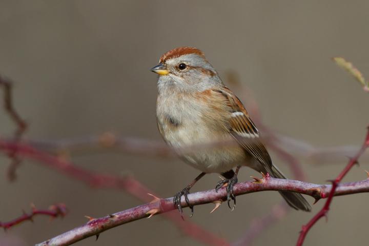 American Tree Sparrowa010813_72ppi