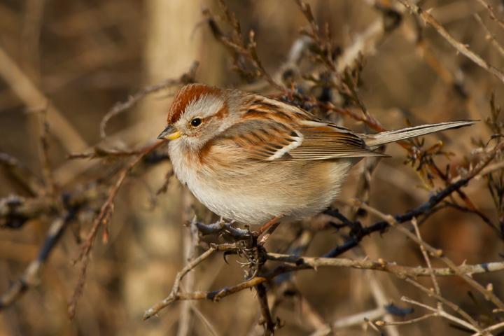 American Tree Sparrowa012713_72ppi