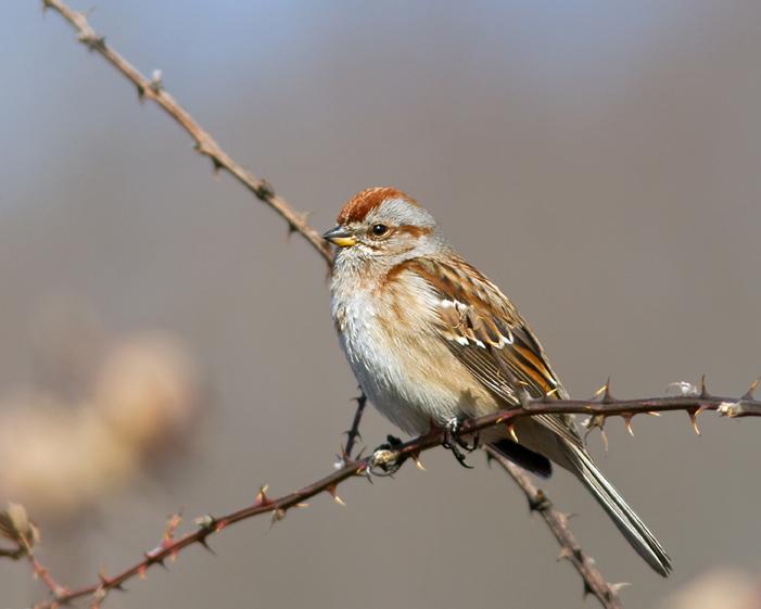 American Tree Sparrowa022314_72ppi