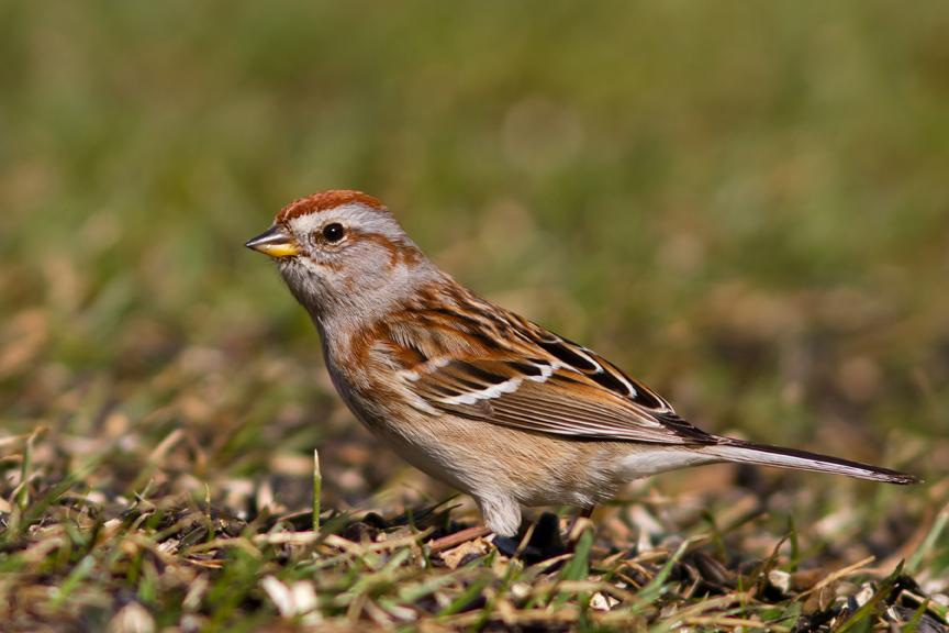 American Tree Sparrowa032014_72ppi