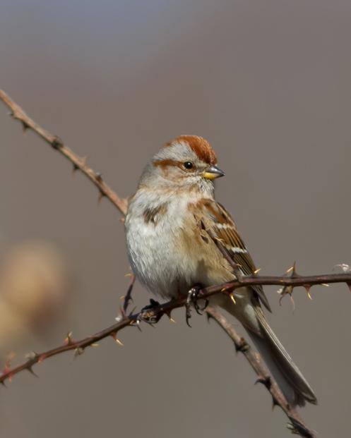 American Tree Sparrowb022314_72ppi