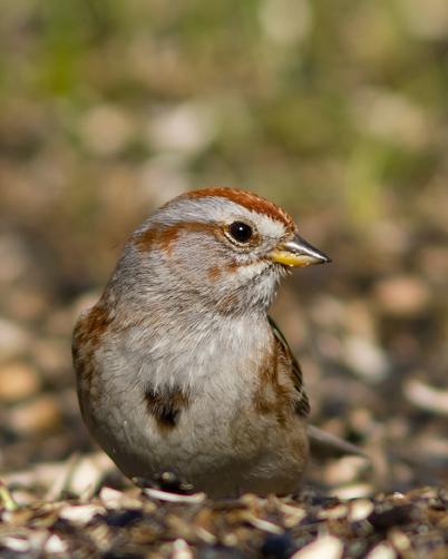 American Tree Sparrowb032014_72ppi