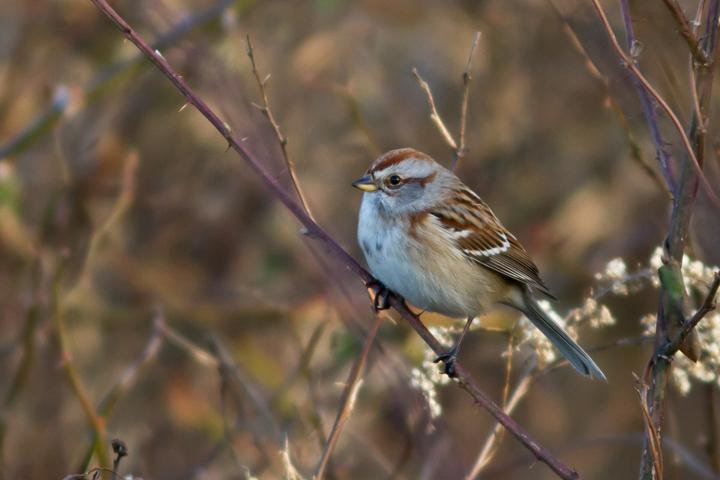 American Tree Sparrowb122813_72ppi