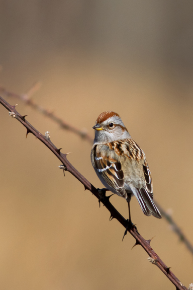 American Tree Sparrowc022314_72ppi