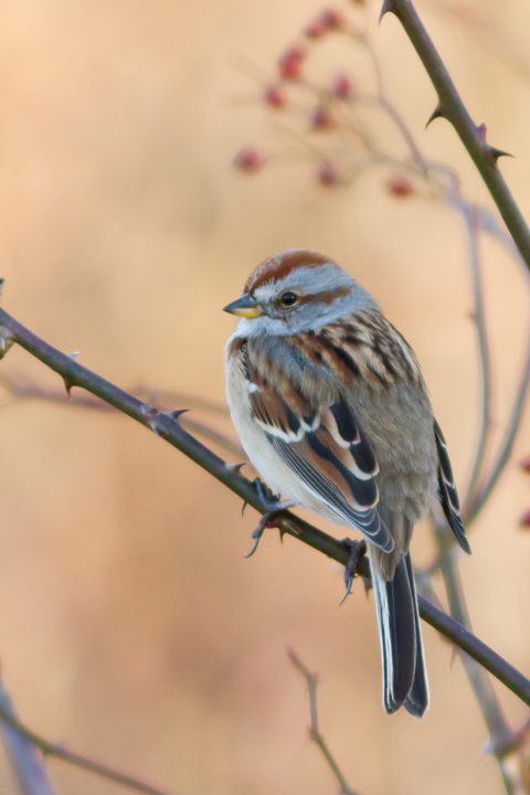 American Tree Sparrowc122813_72ppi