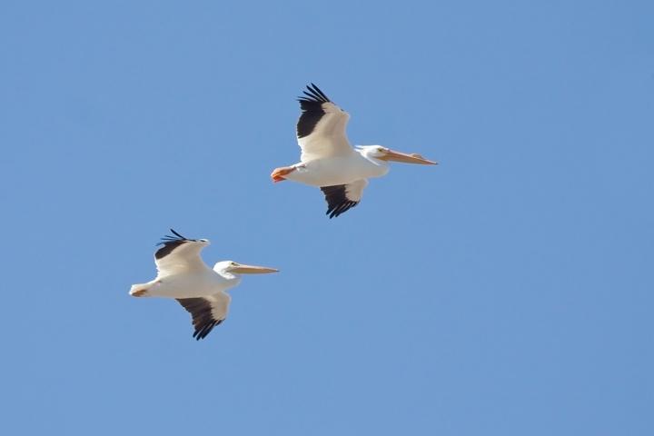 american-white-pelicansb020710_72ppi
