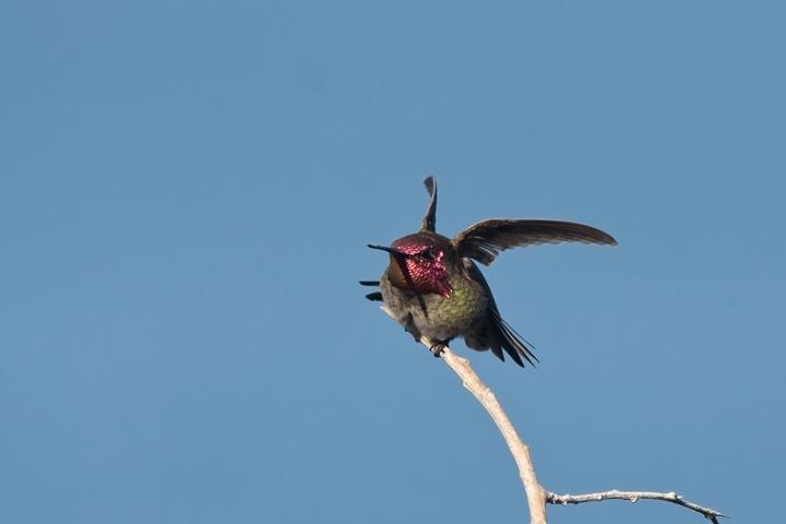 annas-hummingbirdmb020810_72ppi