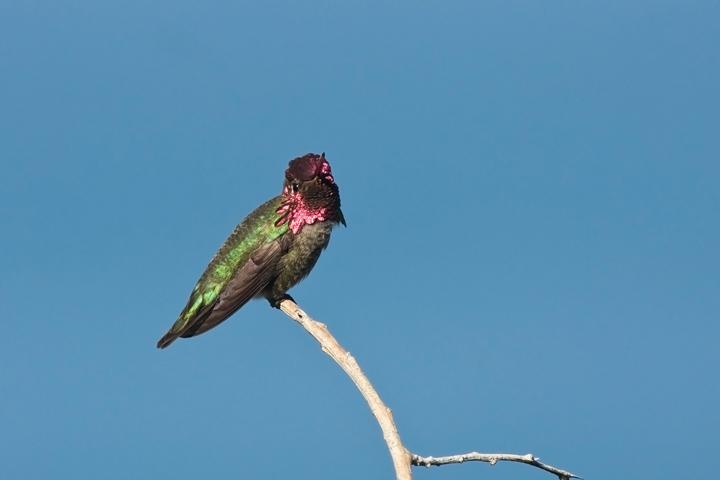 annas-hummingbirdmd020810_72ppi