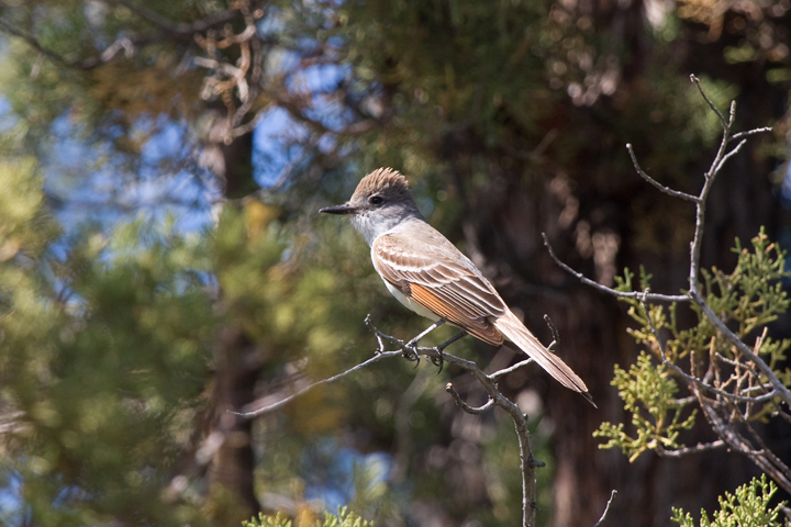 Ash-throated Flycatchera062410_72ppi