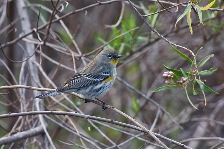 audubons-wablera020510_72ppi