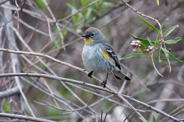 audubons-warblerb020510_72ppi