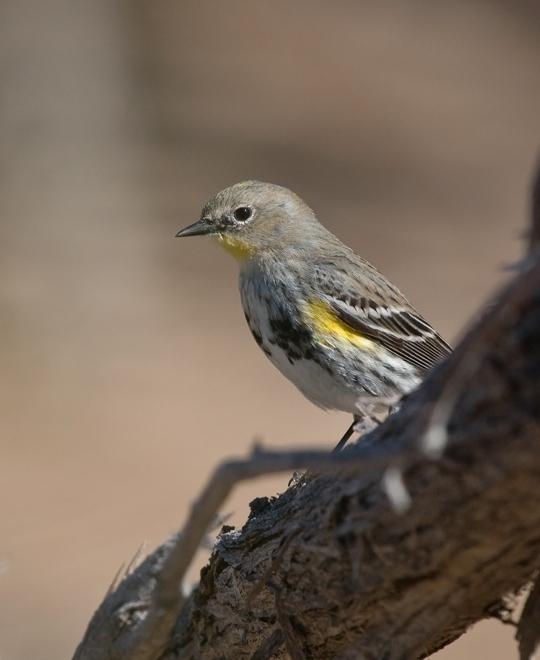 Audubon's WarblerMa020710_72ppi