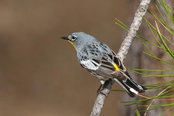 Audubon's WarblerMa062210_72ppi