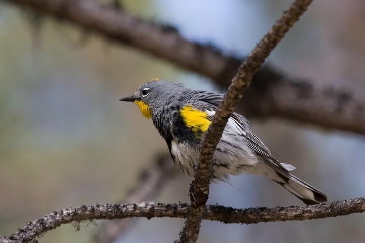Audubon's WarblerMb062210_72ppi