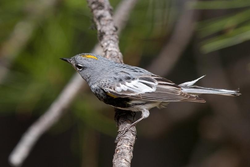 Audubon's WarblerMc062210_72ppi