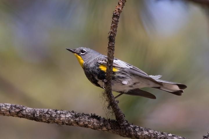 Audubon's WarblerMe062210_72ppi