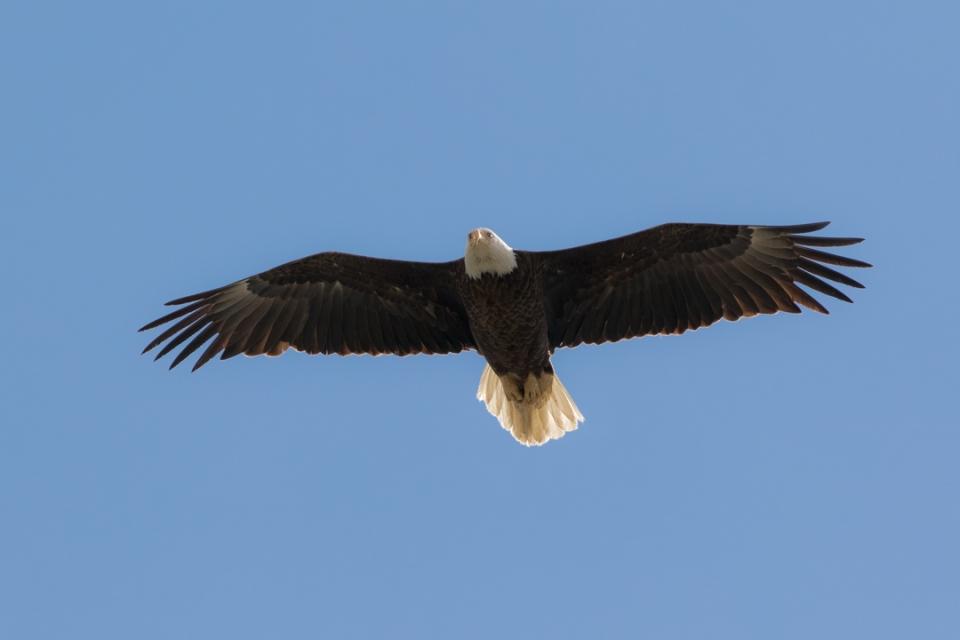 Bald Eagle Ada042315_72ppi