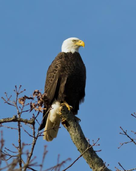 Bald Eagle Adf122015_72ppi