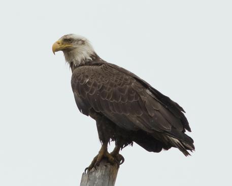 Bald EagleAdb051716_72ppi