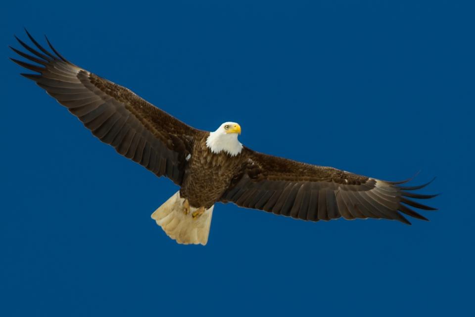 Bald EagleAde022714_72ppi