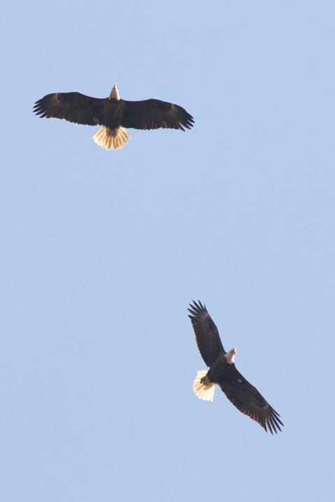 Bald Eagleb022413_72ppi