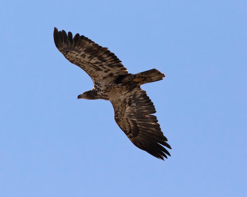 Bald EagleImm1_72ppi