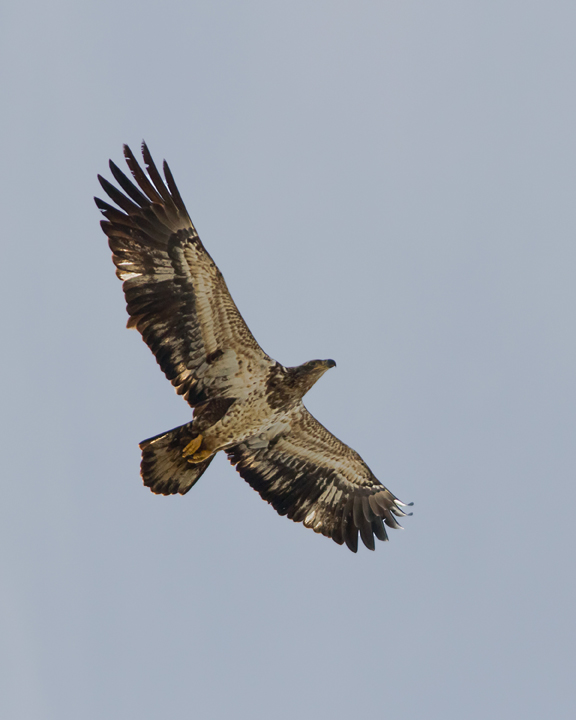 Bald EagleImma020114_72ppi