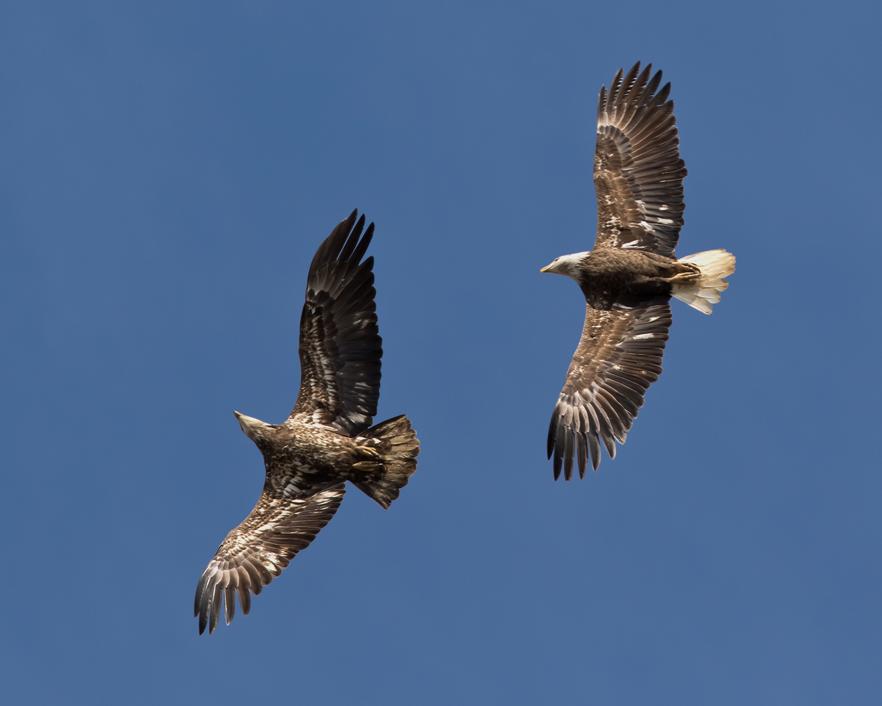 Bald Eagles3_72ppi