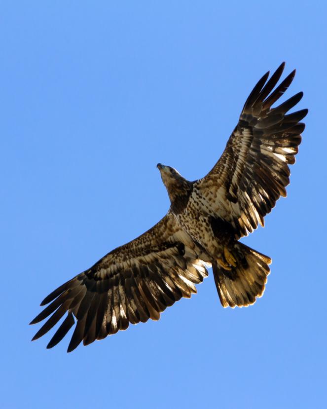 Bald EagleSYa030614_72ppi