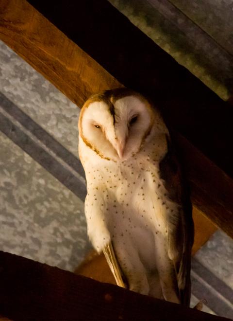 Barn Owlc100210_72ppi