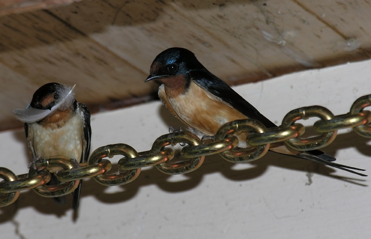 Barn Swallow pairb052605_72ppi
