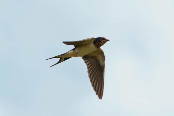 Barn Swallow5_72ppi