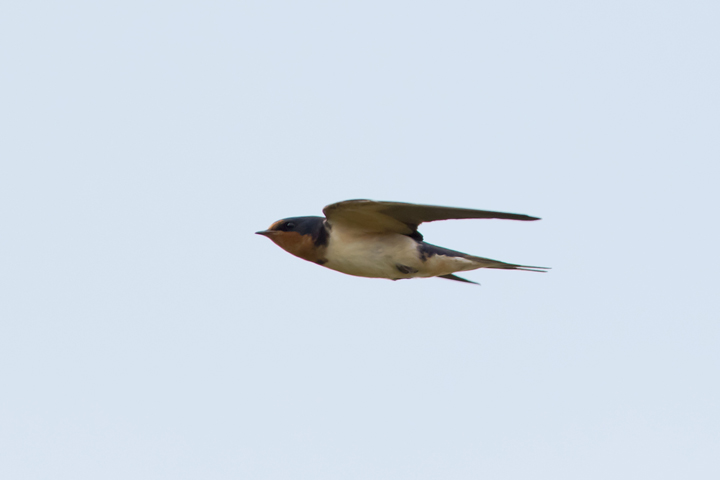 Barn SwallowHY2_72ppi