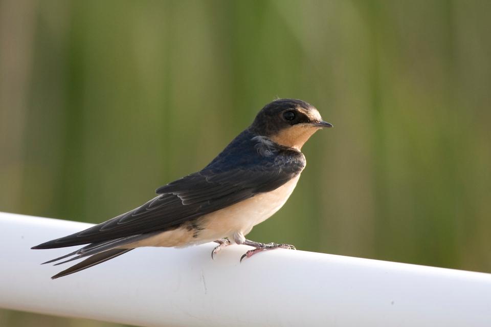 Barn SwallowJuva07.09.09