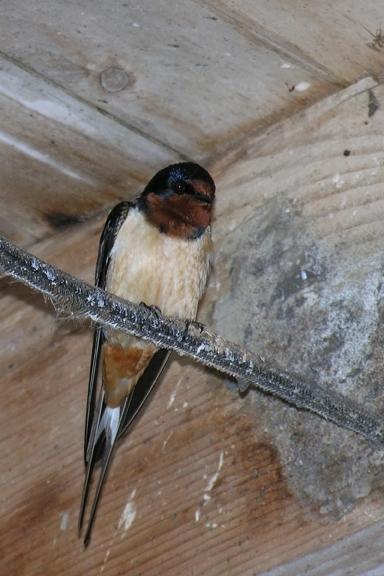Barn SwallowMa050405_72ppi