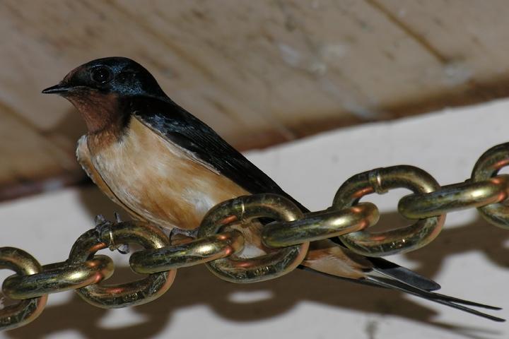 Barn SwallowMa052605_72ppi
