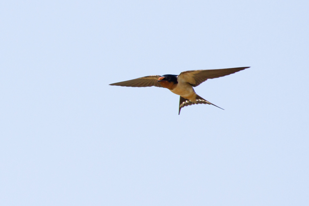 Barn Swallowsb041613_72ppi