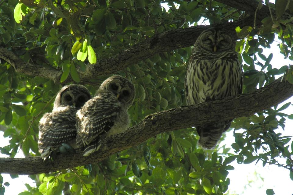 Barred Owl Familyd4.29.06_72ppi
