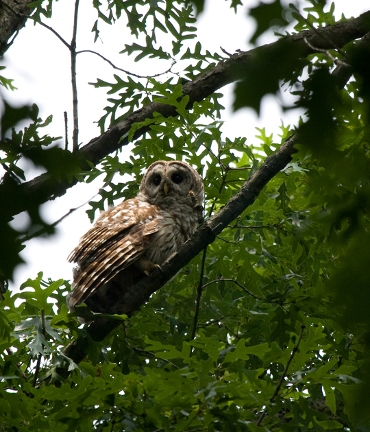 Barred Owla060510_72ppi