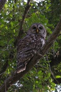Barred OwlAdb4.27.06_72ppi
