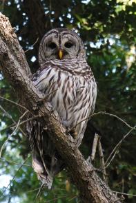 Barred OwlAdi4.27.06_72ppi