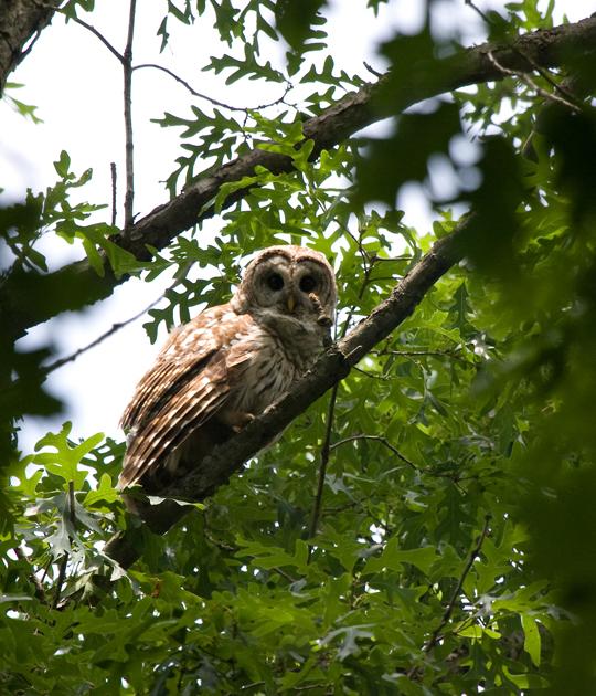 Barred Owlb060510_72ppi