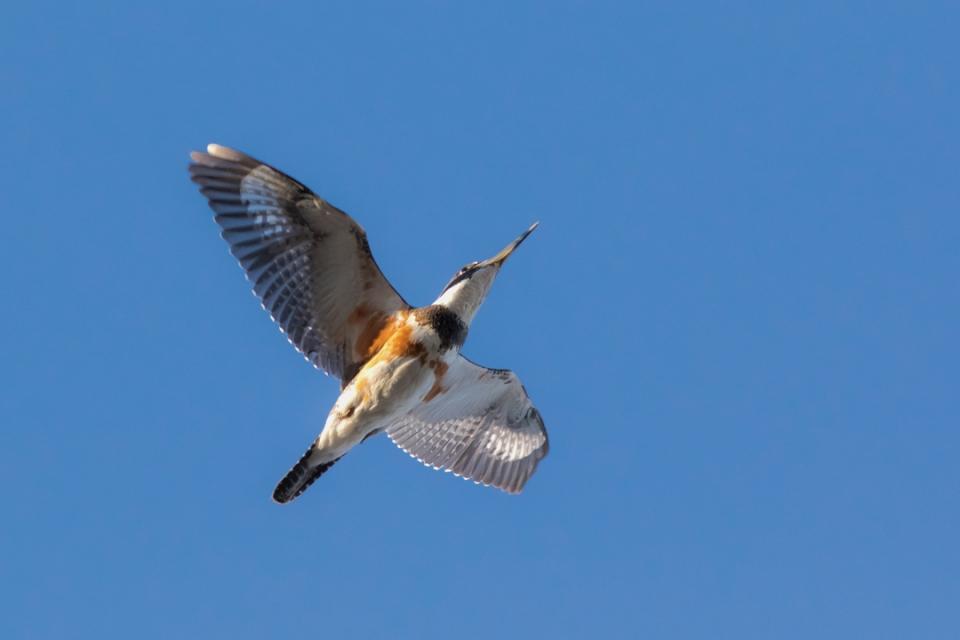 Belted KingfisherF1_72ppi