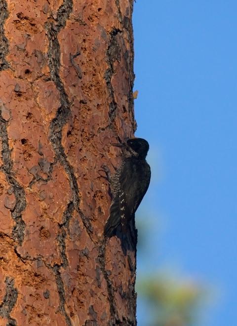 Black-backed WoodpeckerMa062410_72ppi