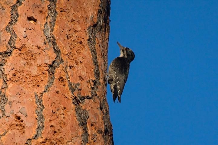 Black-backed WoodpeckerMb062410_72ppi