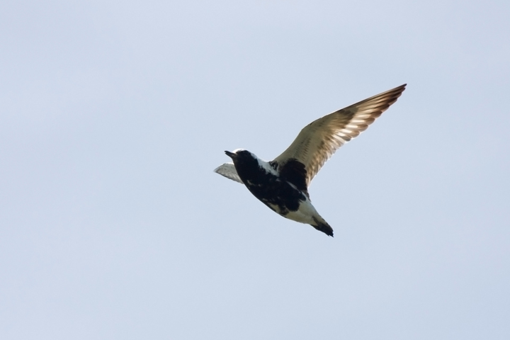 Black-bellied Plovera052610_72ppi